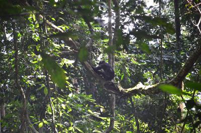 Bonobo se déplaçant dans un arbre